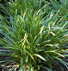 The highest quality best customer service fastest delivery liriope variegata mightylinksfo
