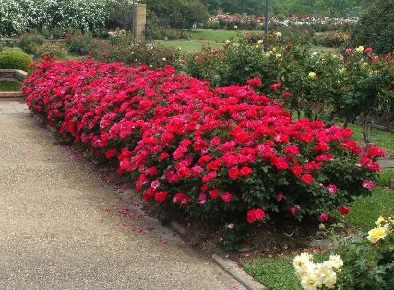 Roses In Garden: The Highest Quality ... Best Customer Service ... Fastest
